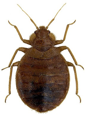 Percevejos (Cimex lactularius): características, habitat, tipos, reprodução