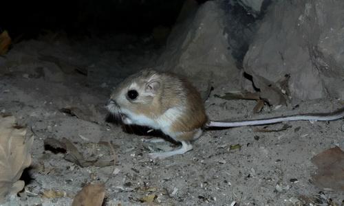 Rato-canguru: características, taxonomia, alimentação, reprodução