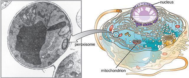 Peroxissomos: características, funções, estrutura, biogênese