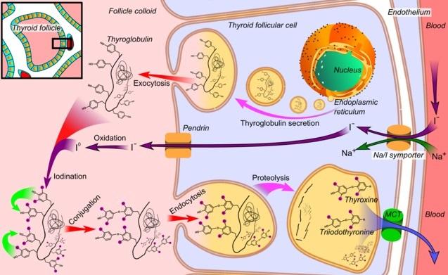 Tiroglobulina: estrutura, síntese, função, valores