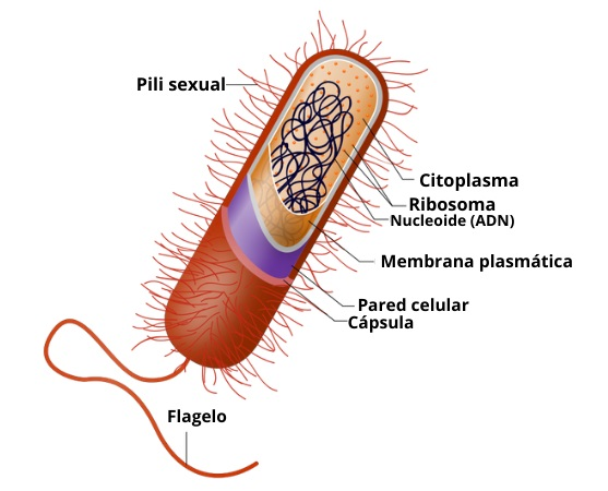 Célula bacteriana: características e estrutura (partes)