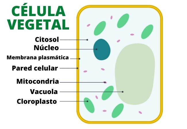 Célula vegetal: características, partes (organelas) e funções 11