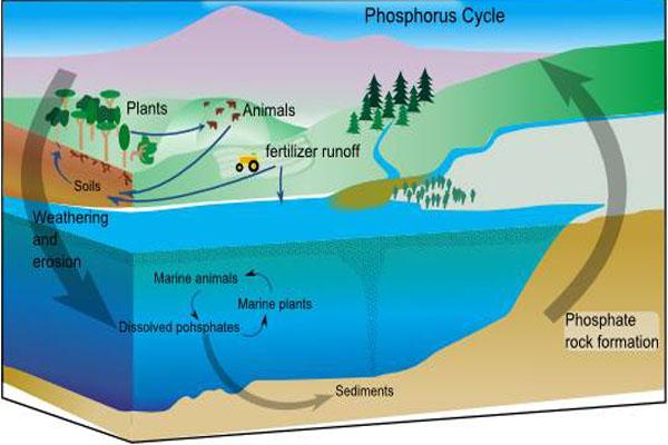 Ciclo de fósforo: características, etapas, alterações, importância