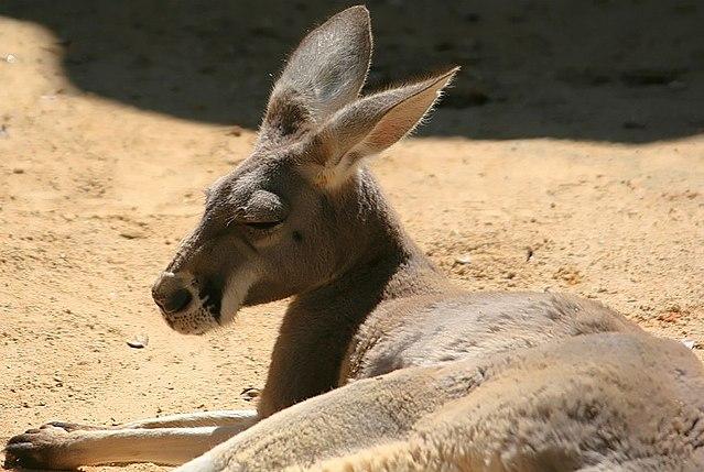 Canguru vermelho: características, alimentação, reprodução, comportamento