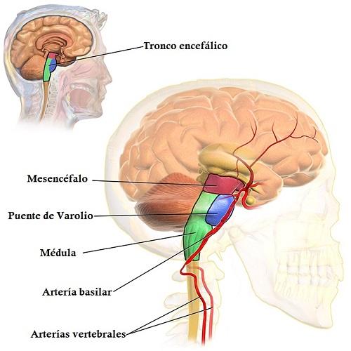 Mencéfalo: características, funções e peças