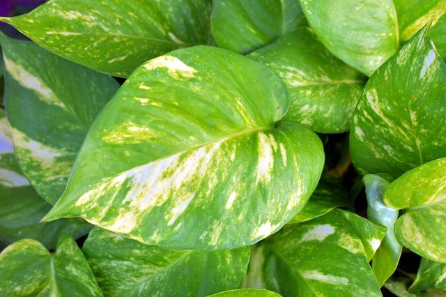 Epipremnum aureum: características, habitat, cultivo, cuidados