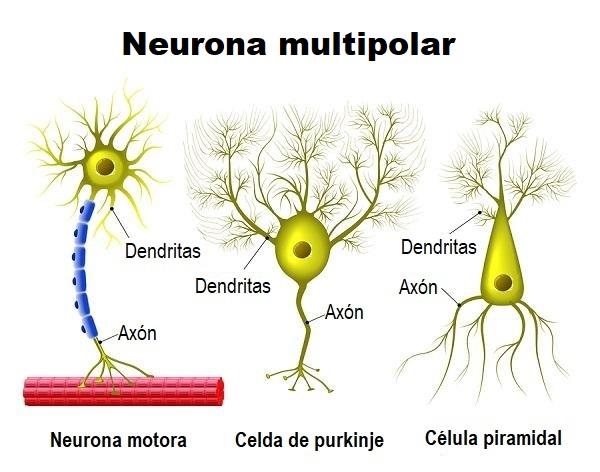 Neurônio multipolar: funções, tipos, anatomia 5