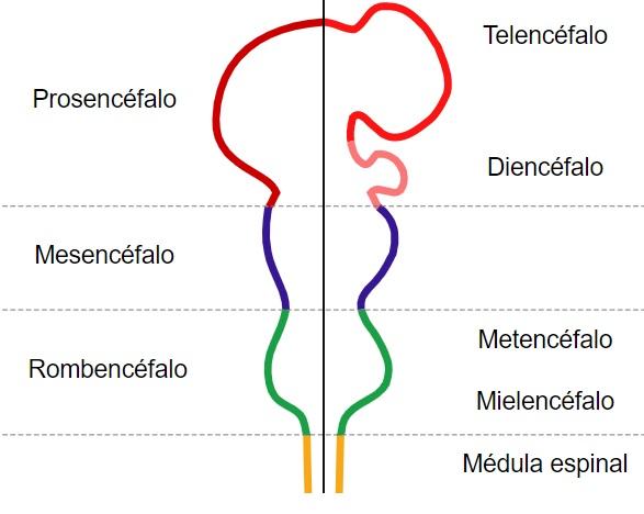 Meninges cerebrais: camadas e espaços (com imagens) 11